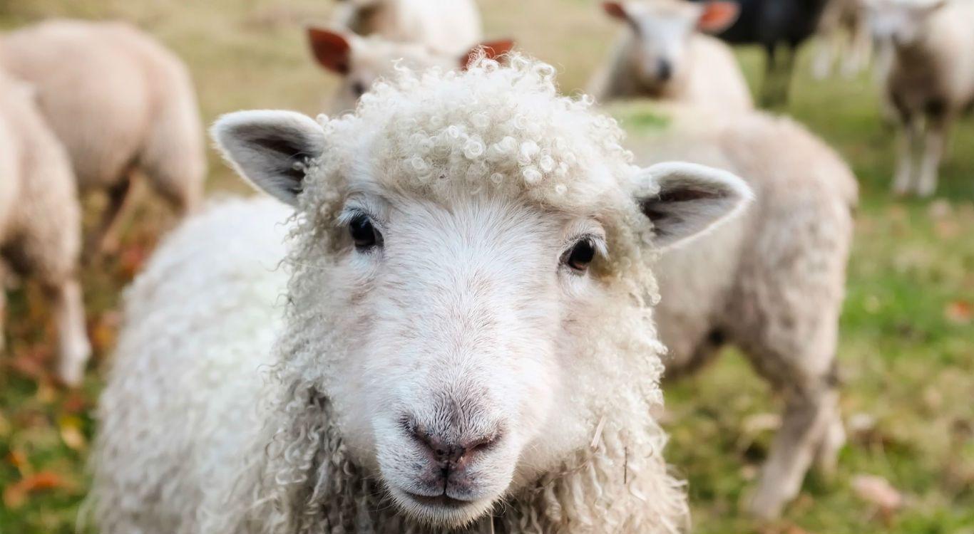 A necessidade de pastoreio